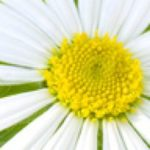 cropped-green-daisy1.jpg